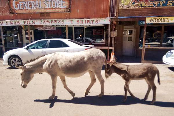 wild donkeys - burros in Oatman, Route 66, Arizona