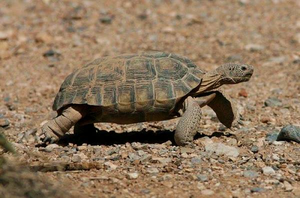 Desert Tortoise in the Mojave, California