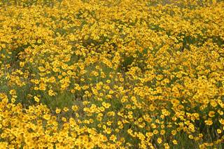 Wild flowers, yellow colored, Amarillo